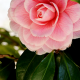 Camellia Show in Brookhaven Mississippi