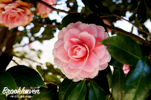 Camellia Festival in Brookhaven Mississippi